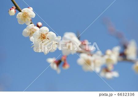 梅 十郎 和園は神奈川県小田原市で特産の曽我十郎梅を生産、販売しています。