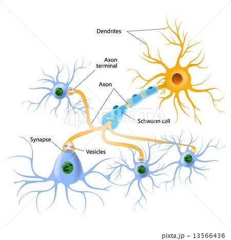 神経伝達物質の写真素材 Pixta