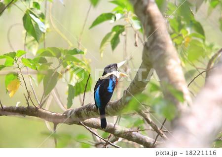 パプアニューギニア 野鳥の写真...