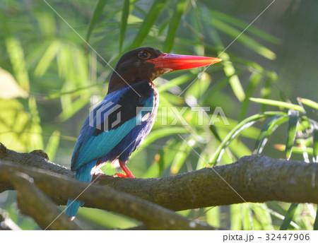 バリ島の野鳥の写真素材 - PIXTA