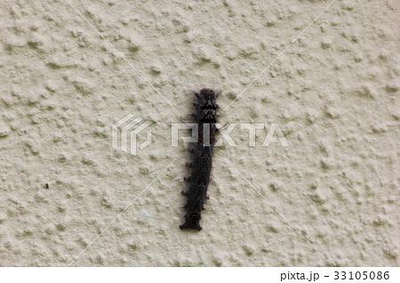 毛虫 茶色 黒色の写真素材
