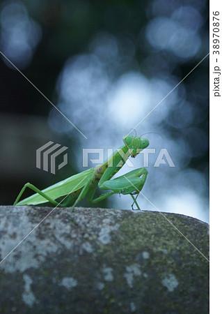腹広蟷螂の写真素材 - PIXTA