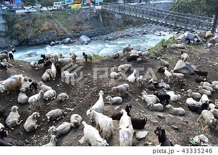 ヤギ 動物 川 哺乳類の写真素材 ...